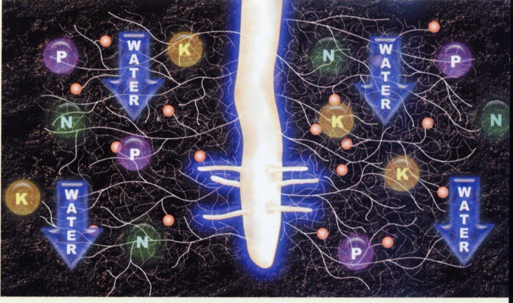 Plaatje van een cannabis wortel welke laat zien hoe de fijne haren van van je wortels voeding op vangen